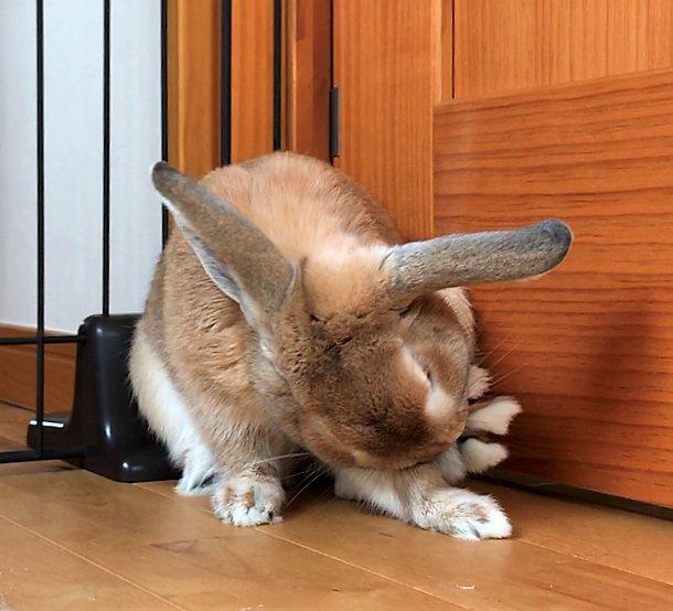 うさぎさんの後足はこんなにパーに開くよ (゚Д゚)ヘェー しっぽだって長いよ (゚Д゚)ヘェー