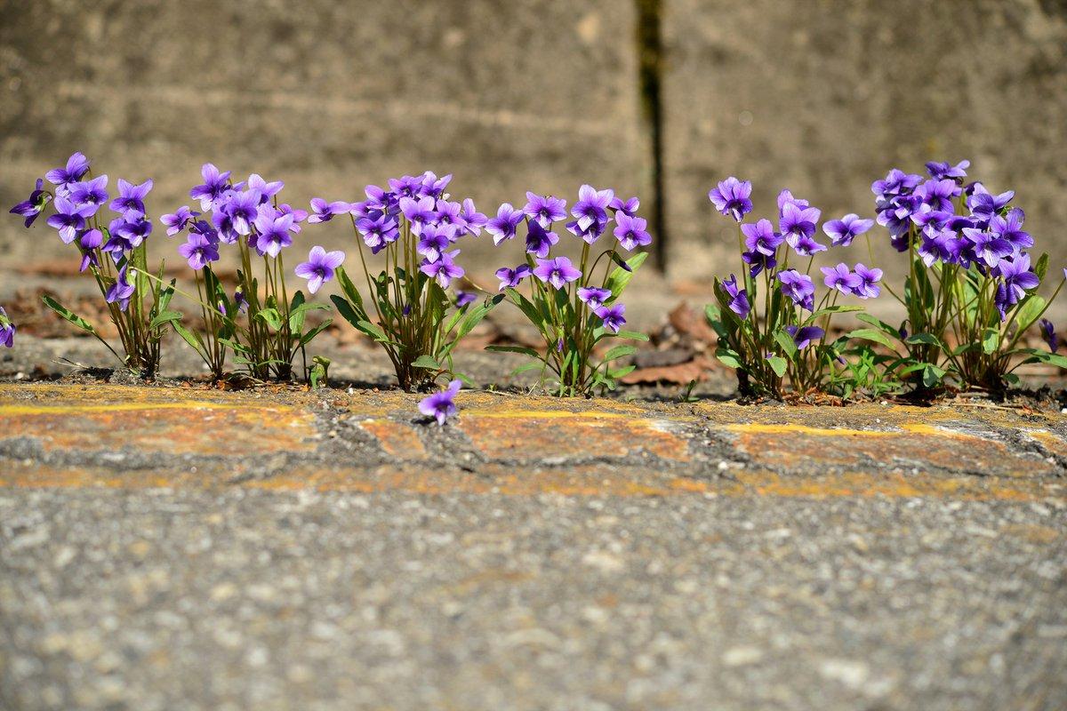 제비꽃을 사열했습니다. https://t.co/iPMDijVunb