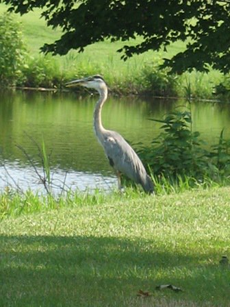 #suddenclick May Be its a Blue Heron.So Cute  #golfing #golfswing #golf #golfer #golfcourse #lovegolf #Putting #golffeild #golftipspic.twitter.com/DCjot2dkXG
