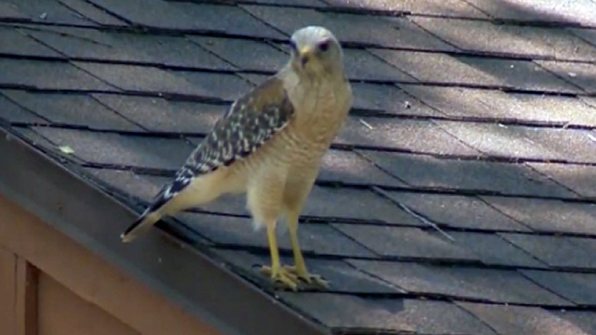 It sounds like a Hollywood movie, but hawk attacks have some Florida residents keeping an eye on the sky. https://t.co/x60aTrUYnj