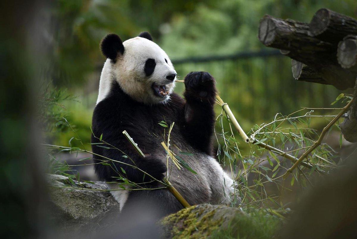 Pandabären Berlin