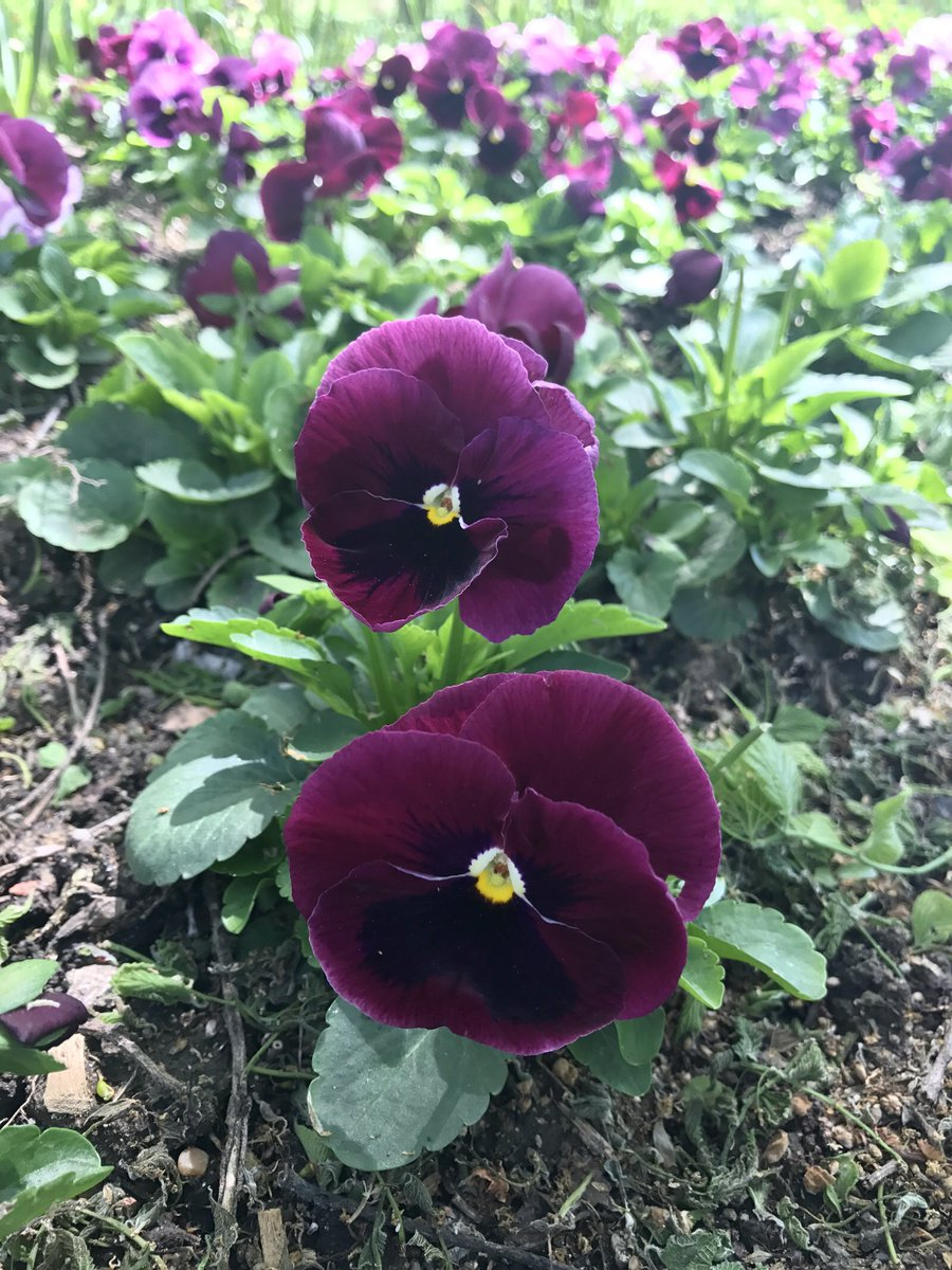 Plant Addicts On Twitter Hip Hop Viola Pretty Purple Flowers