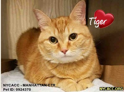 A Nice #Kitty Deserves A Nice Home In #NewYorkCity Tiger Is A Nice Kitty Can&#39;t U Tell? Give&#39;m A Nice Home #Adopt At #NYCACC #Manhattan #Pets <br>http://pic.twitter.com/opH76dalBb