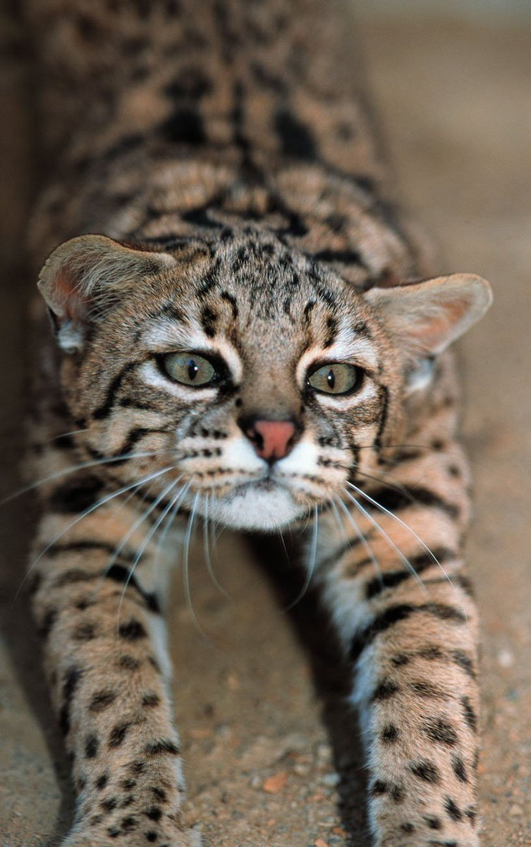Scientists find new population of endangered #cats in #Borneo  http:// ow.ly/15Z830bhIN0  &nbsp;   #felines #animals #pets #family #health  #kittens<br>http://pic.twitter.com/S7q52Zl9gW