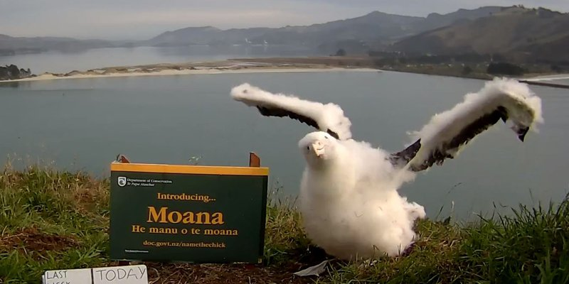 2016: Our famous #royalcam albatross chick at Taiaroa Head is named Moana: https://t.co/QUxIIvmKEj #DOCturns30 https://t.co/ahYcTuxzfq