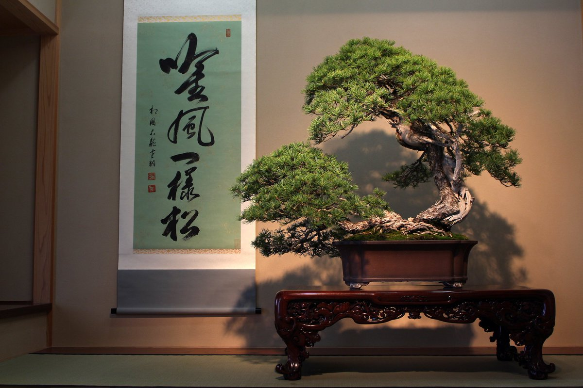 Bonsai Empire On Twitter A Stunning Five Needle Pine Named Higurashi 80 Years Cultivated In A Bonsai Container At The Omiya Bonsai Art Museum Bonsai Https T Co Ufg2aqhinx