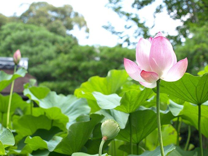 京都・妙心寺退蔵院で夏のお花見「蓮見の会」'阿じろ'によるブランチも - https://t.co/nH4zvB7cOR