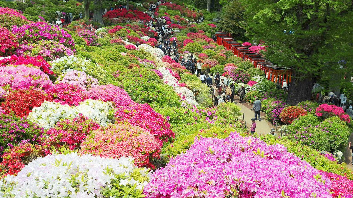 Tokyo Gov On Twitter At The Bunkyo Azalea Festival Visitors Can