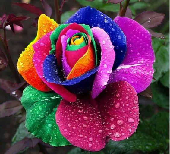 Oye shayari on twitter rose images for whatsapp dp - Flower wallpaper dp ...