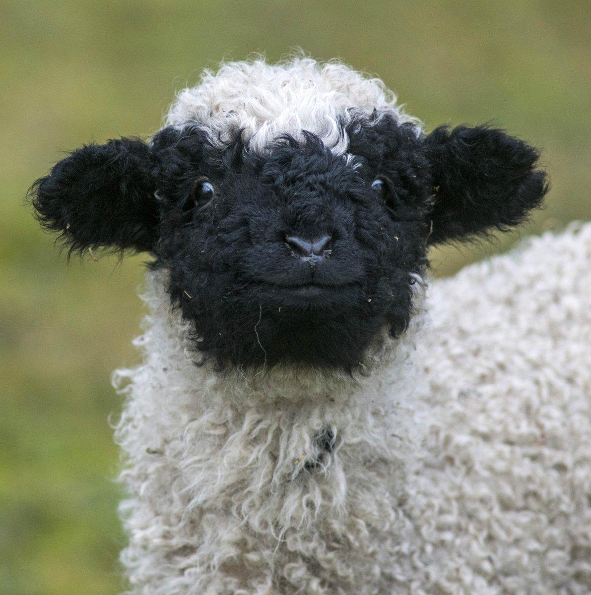 Zoo Tierpark Berlin On Twitter How Sheep Is Your Love Walliser