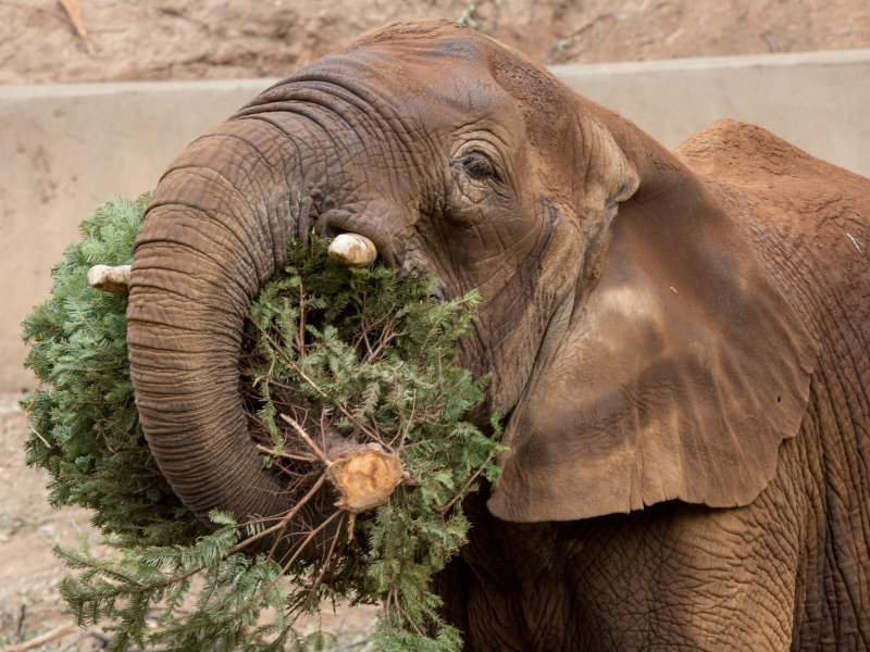 Oakland Zoo animals celebrate holidays with gifts, leftover Christmas trees https://t.co/XLQGffvhUm https://t.co/mByOBaLqyZ