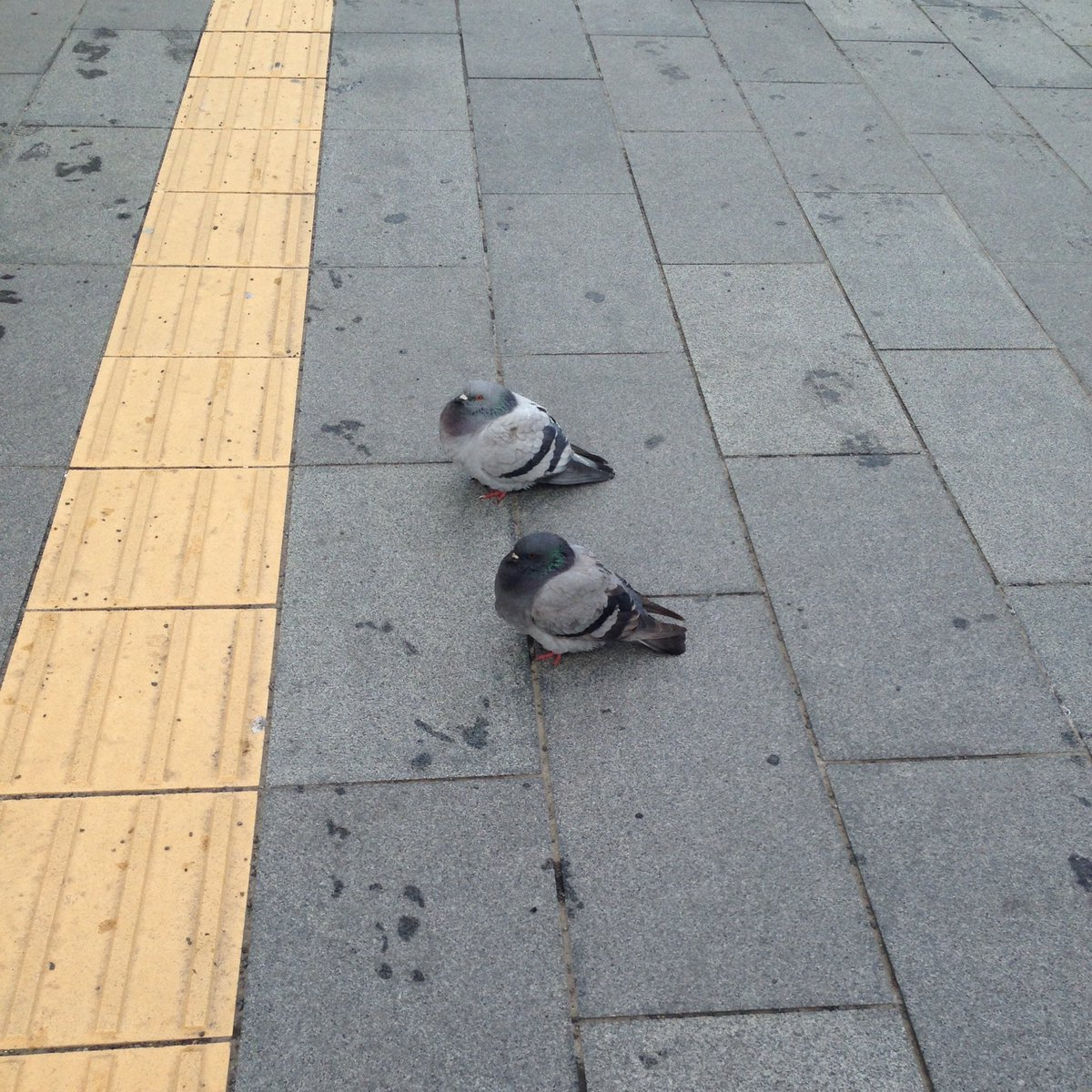 札幌の鳩さん寒さゆえふっくふくでかわいい https://t.co/cAsVxs66X8