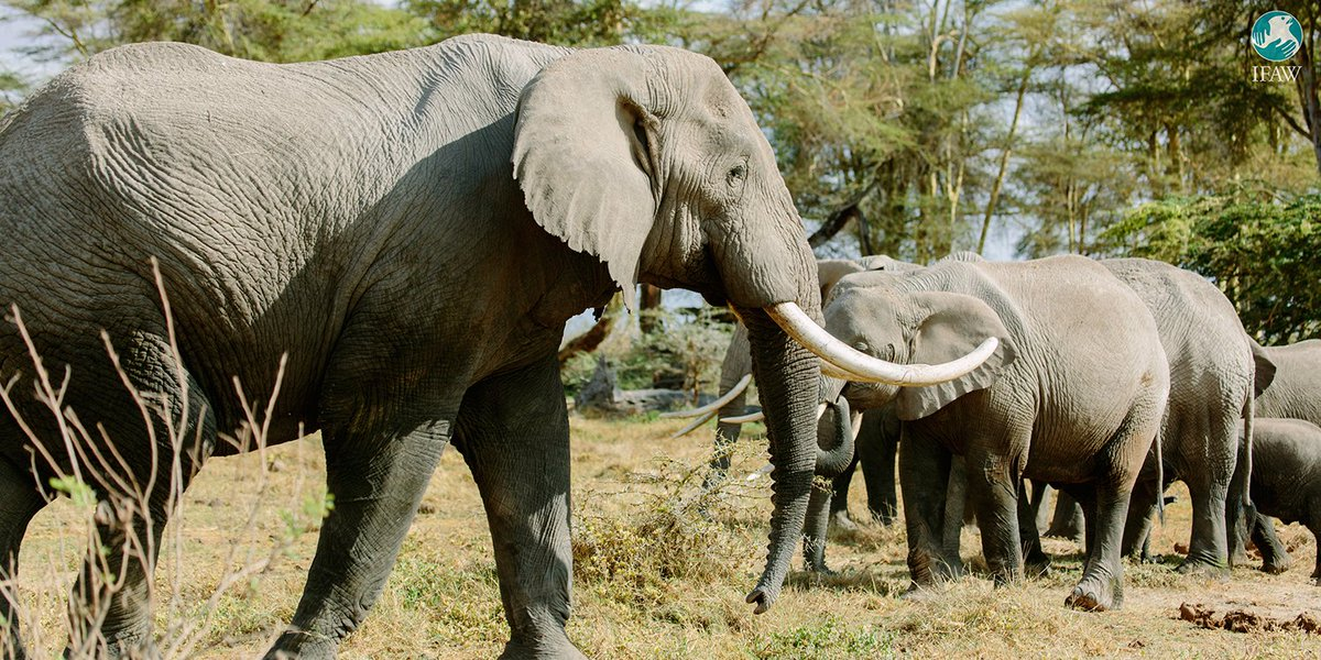 Today, China announced a complete domestic ivory trade BAN in 2017! A major win for elephants! #worthmorealive https://t.co/FsFfaIV2Ju