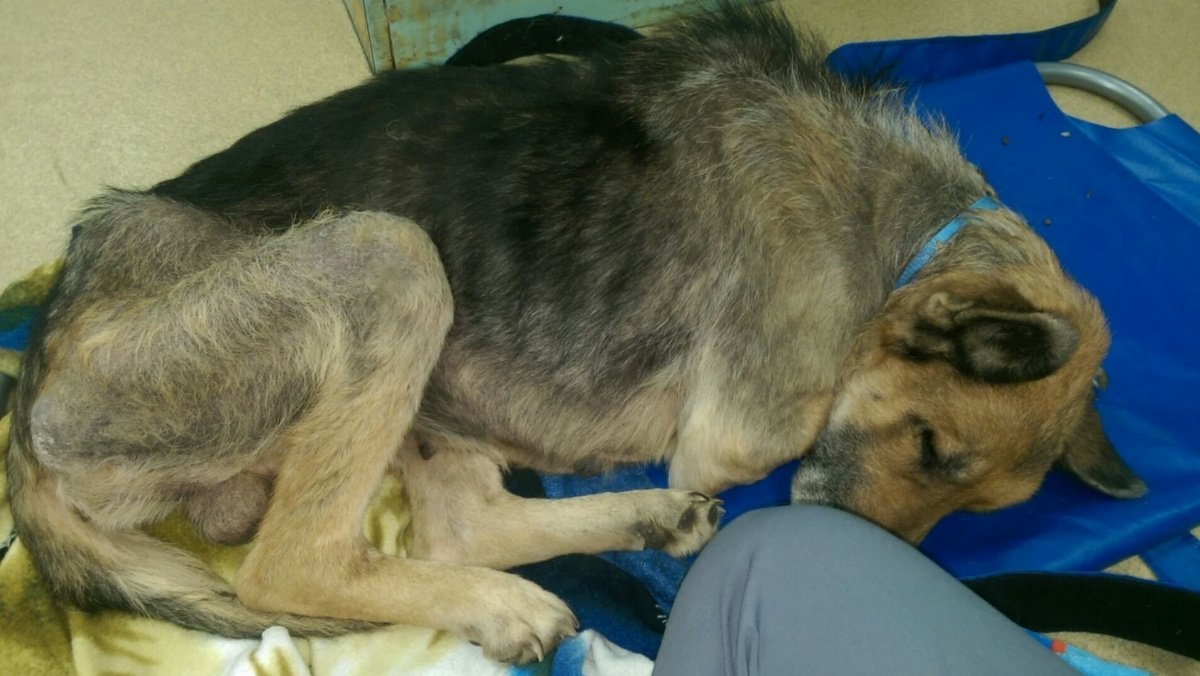 Rescue groups working to save German Shepherd left chained in the cold https://t.co/VrTgPwYHy4
