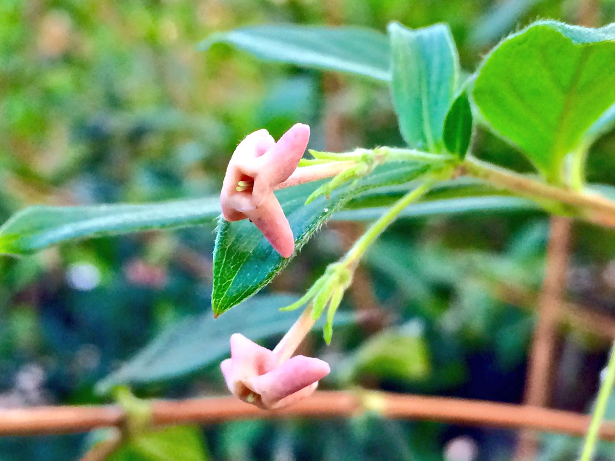 Rebecca Hilgenhof On Twitter Rondeletia Buxifolia Is Endemic To