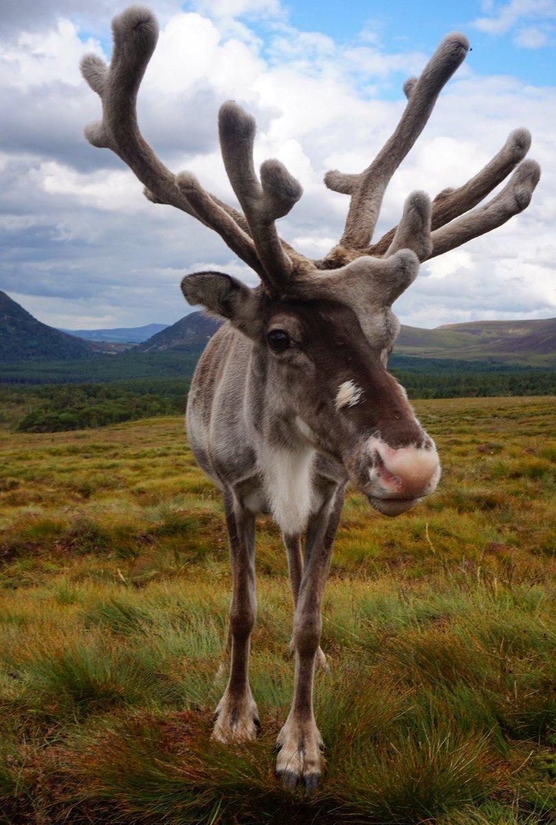 Cairngorm Reindeer Tour