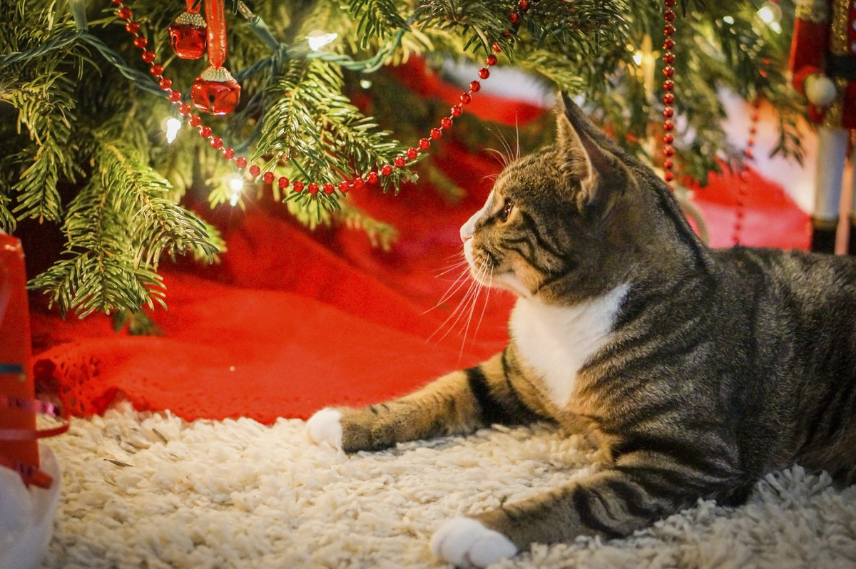 petco on twitter didyouknow some pets are attracted to cords tape down exposed holiday light. Black Bedroom Furniture Sets. Home Design Ideas