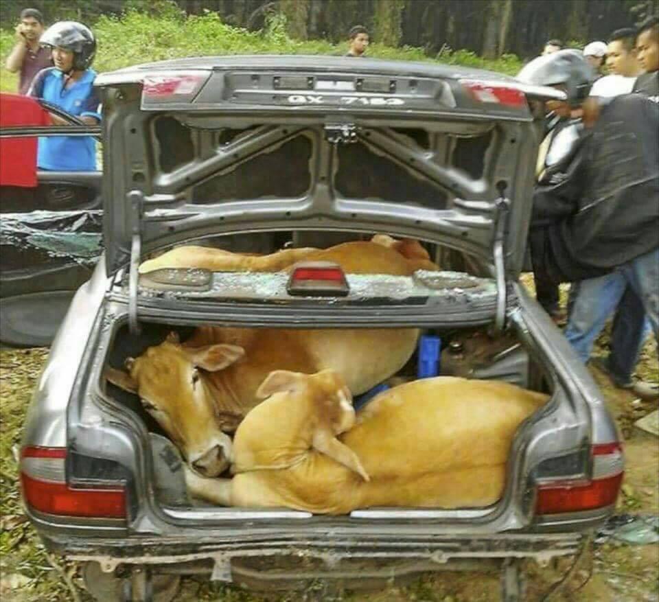 ไม่ได้สนใจเรื่องขโมยวัว แต่สนใจว่าขโมยมันเอาวัว 4 ตัวยัดเข้าไปในรถอย่างไร ไอ้นี่อัจฉริยะชัด ๆ https://t.co/UUNBA2pQxS