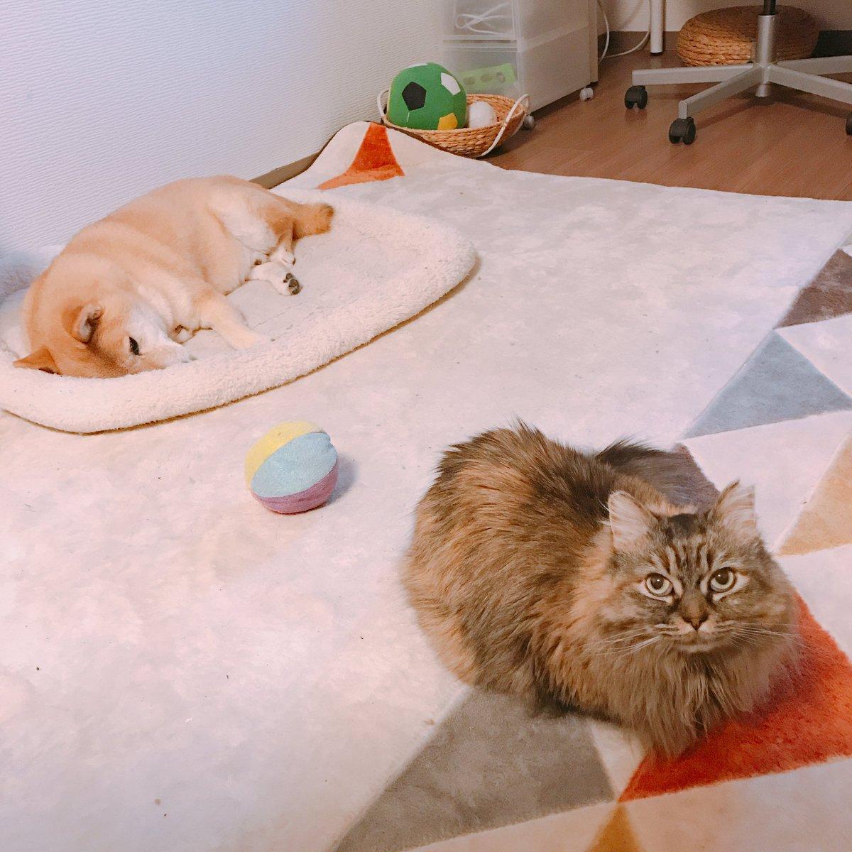 はじめは猫が横取りしているとおもってたけど どうやらかわりばんこでベッドをつかっているらしい https://t.co/kEMFpZ3o8X