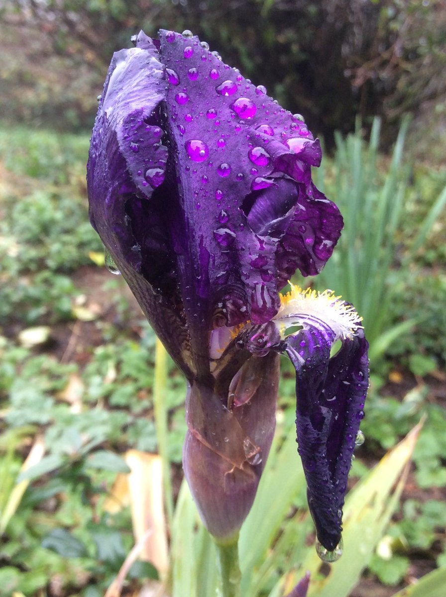 Brave, brave bearded iris formed a flower stalk before the frosts came. #FlowerReport #MerryChristmas @alyssaharad https://t.co/ZU6qDga5Ai