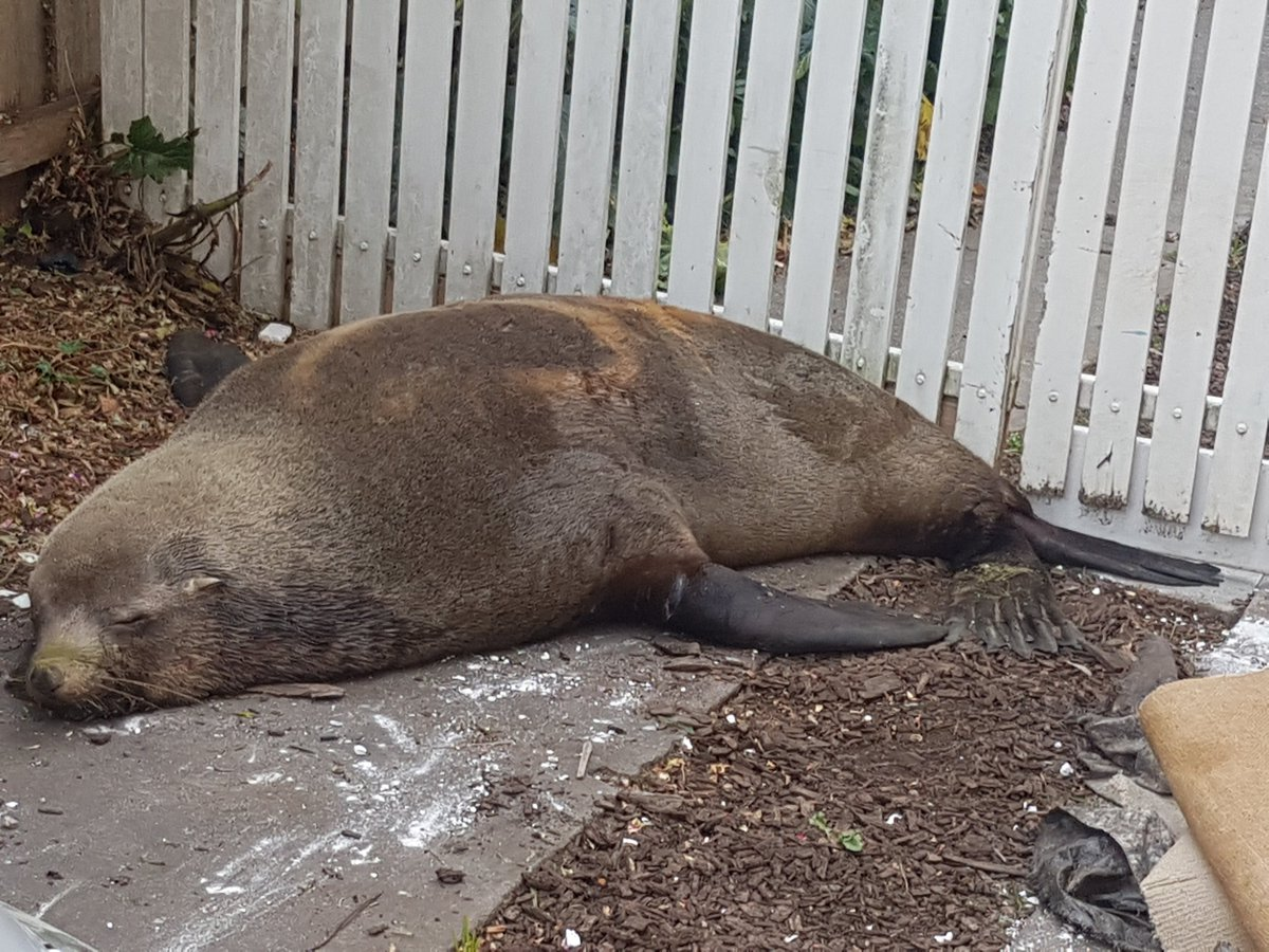 Update: The seal has found a place to sleep in someone's backyard https://t.co/Rb17m11ymN