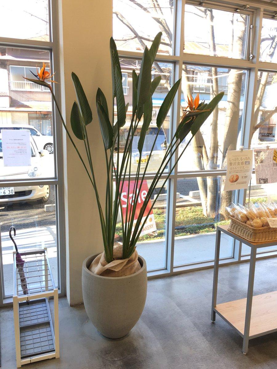 ストレリチア ストレチア ・レギネ 極楽鳥花 40~50CM 観葉植物