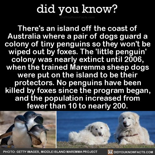RT @DidYouKnowFacts: That is so cute! Guard dogs for penguins! https://t.co/wUKZgFW823