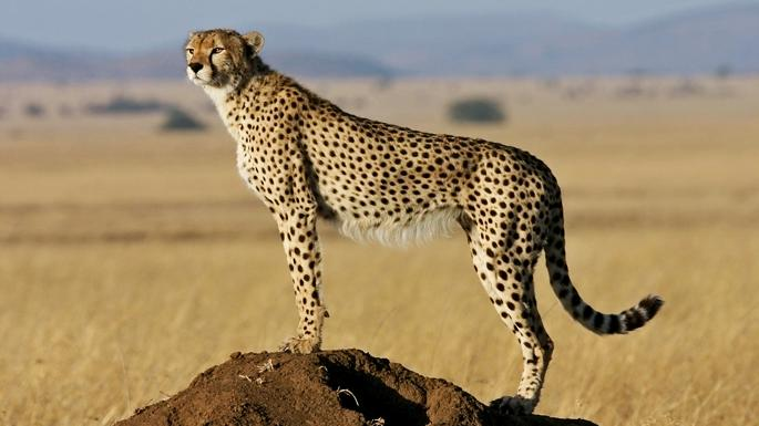 Cheetahs are on brink of extinction as a result of poaching and the trade in exotic pets  https://t.co/bDdSASzntr