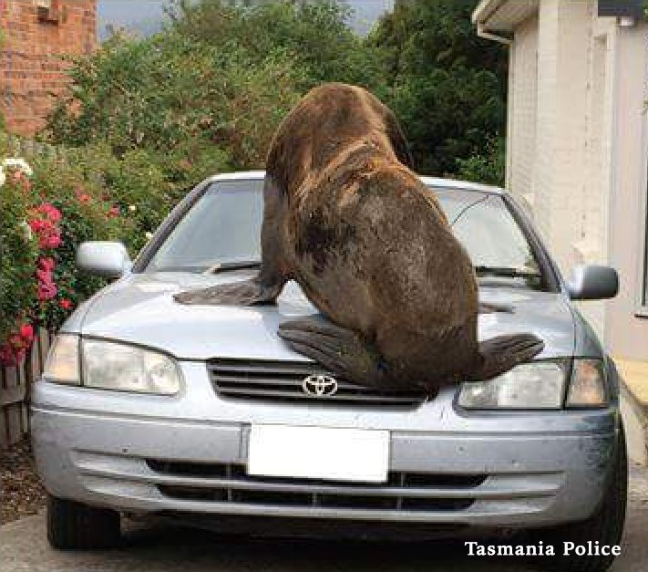 Massive seal wanders into Australian suburb and makes itself at home on top of a parked car, cracking the windshield