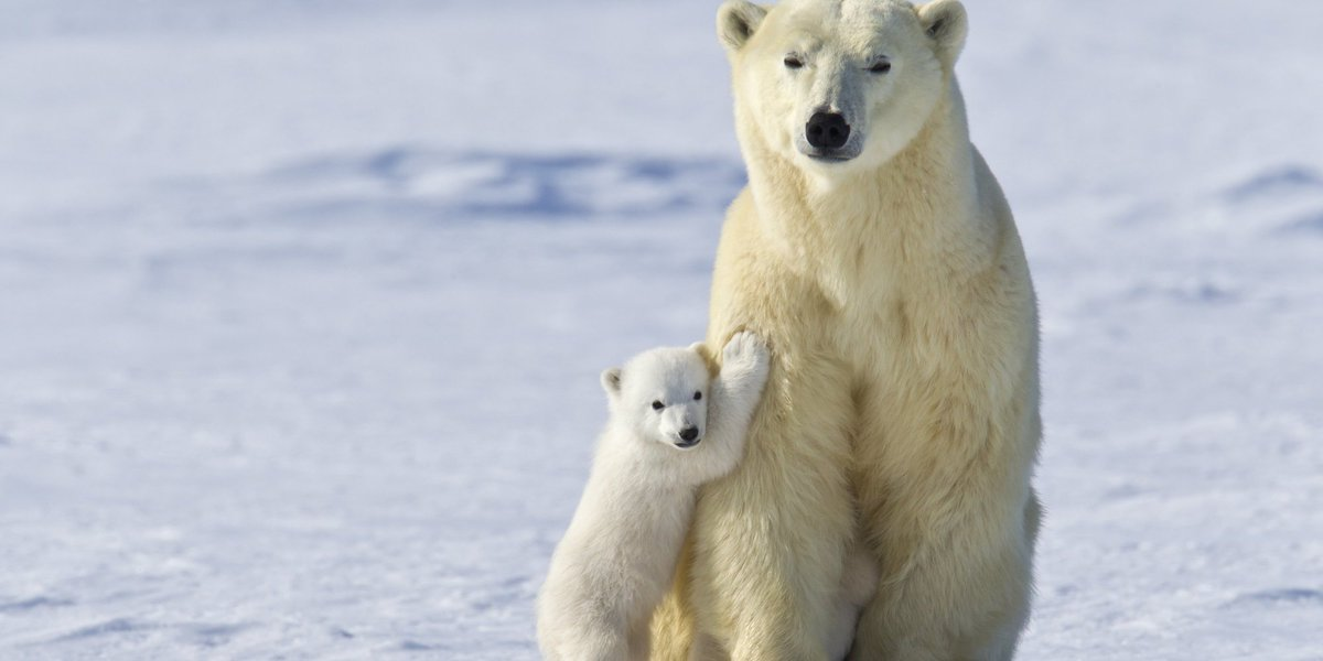 This is our last chance to save polar bears from extinction https://t....