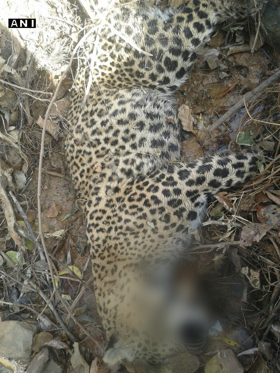 Jammu and Kashmir: Leopard found dead in Udhampur's Chenani today