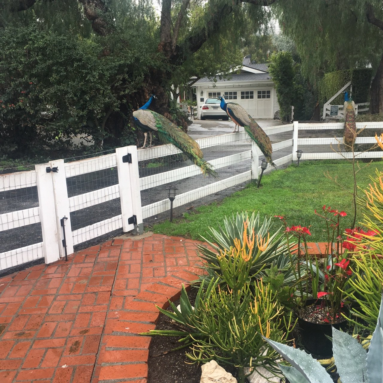 The #LARain continues tonight! What are you seeing near you? Here's a photo a listener sent us (with peacocks!) from Rolling Hills Estates. https://t.co/zYdItJTHsM