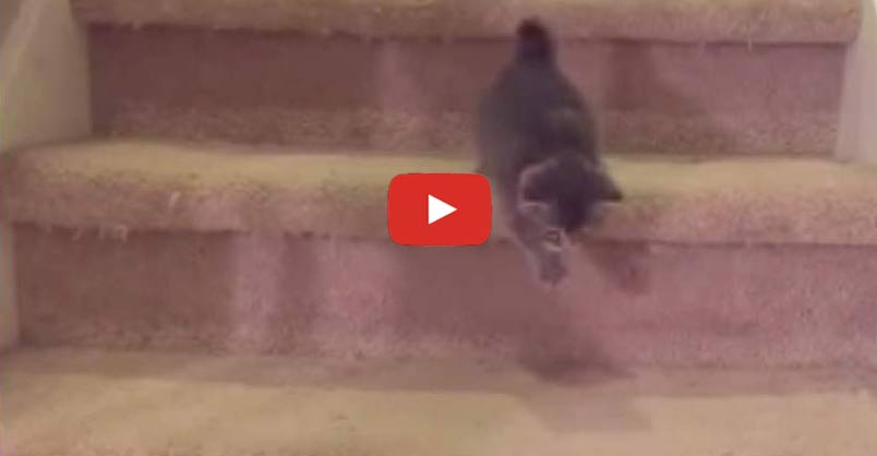 Chubby Kitten Goes Down Stairs For the First Time CLICK to watch >...