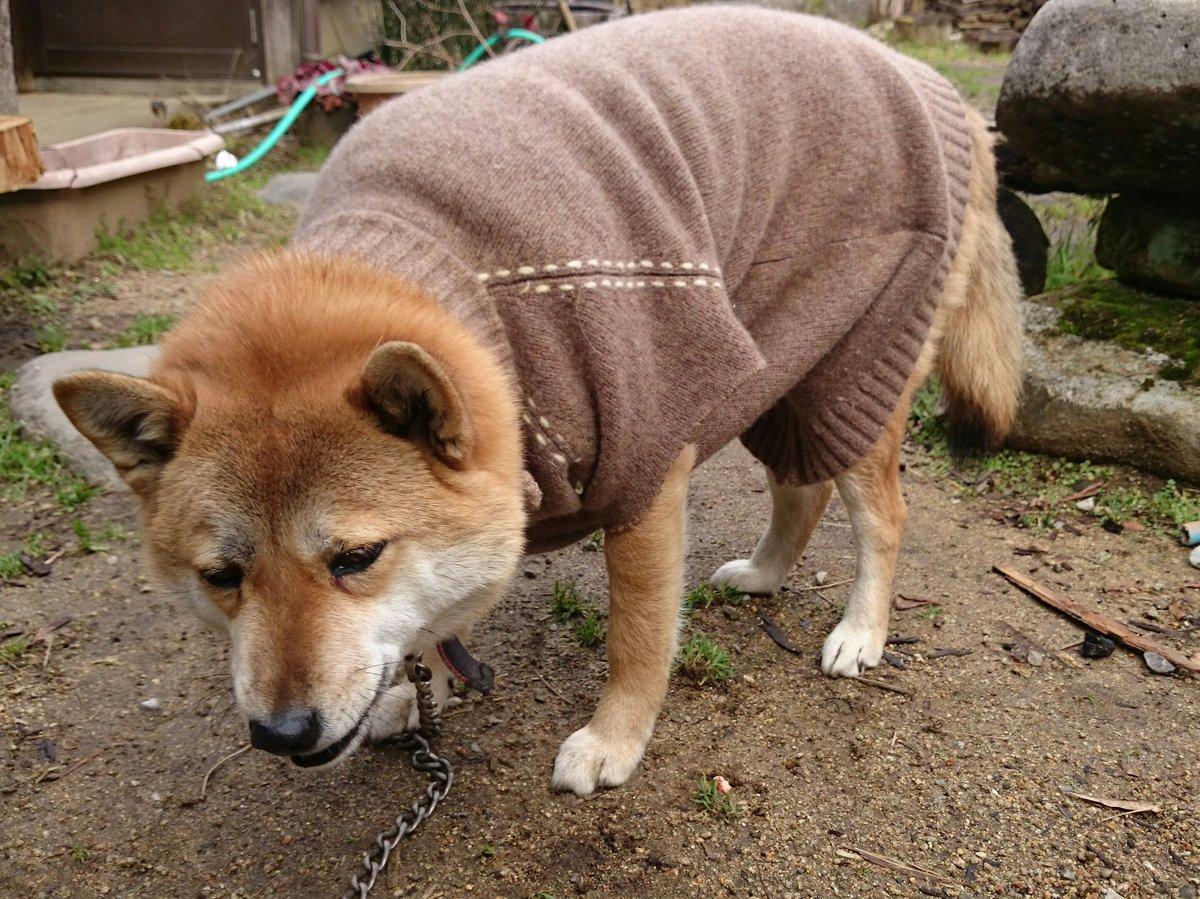 我が家の犬は服を着せた事がありません。今日は冷え込んだのでちょっと着せてみるかと、着せてはみたものの…多分嫌がるだろうとは思ったのですが想像以上に嫌そうで、ぴくりとも動かなくなりました。すみません許してください、二度としません。