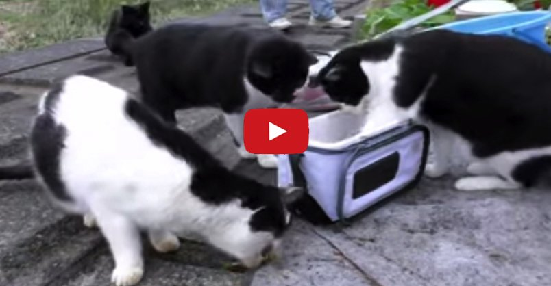 Japanese Fishermen Share Their Fish With Stray Cats. A great feel good...