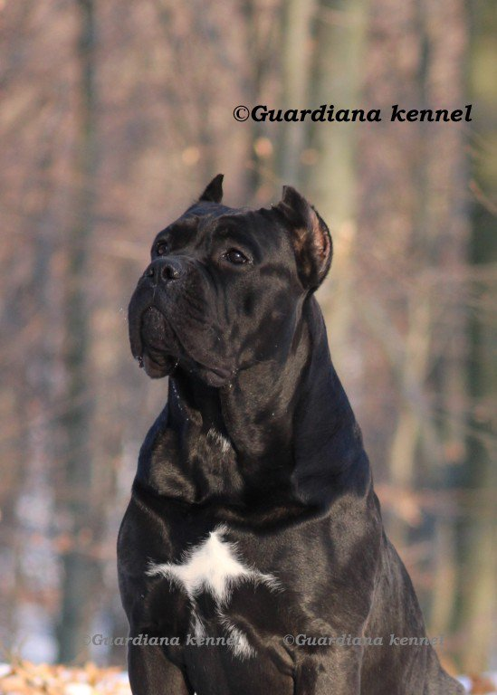Guardiana Cane Corso At Guardianakennel Twitter
