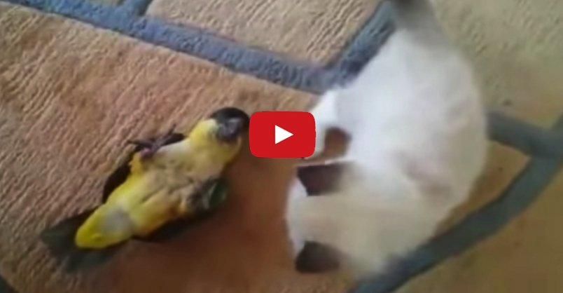 #Kitten and Parrot Battle For Supremacy! But They're Really Best Buddi...