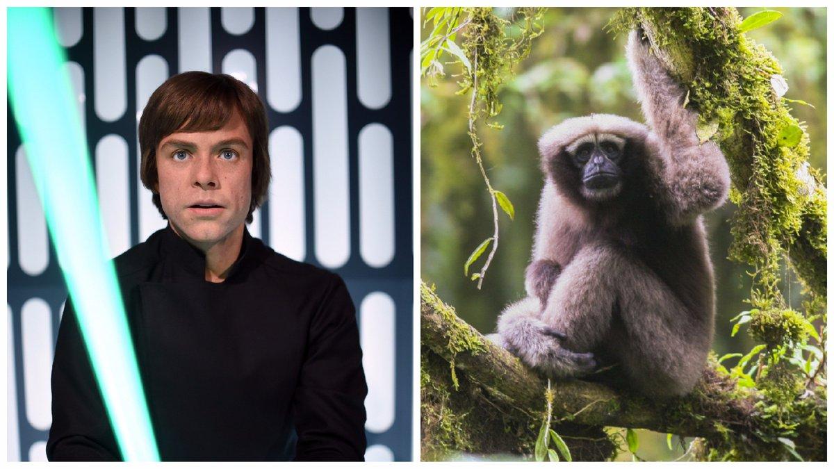 Новости Звездных Войн (Star Wars news): Новый вид приматов из Китая назвали в честь Люка Скайуокера