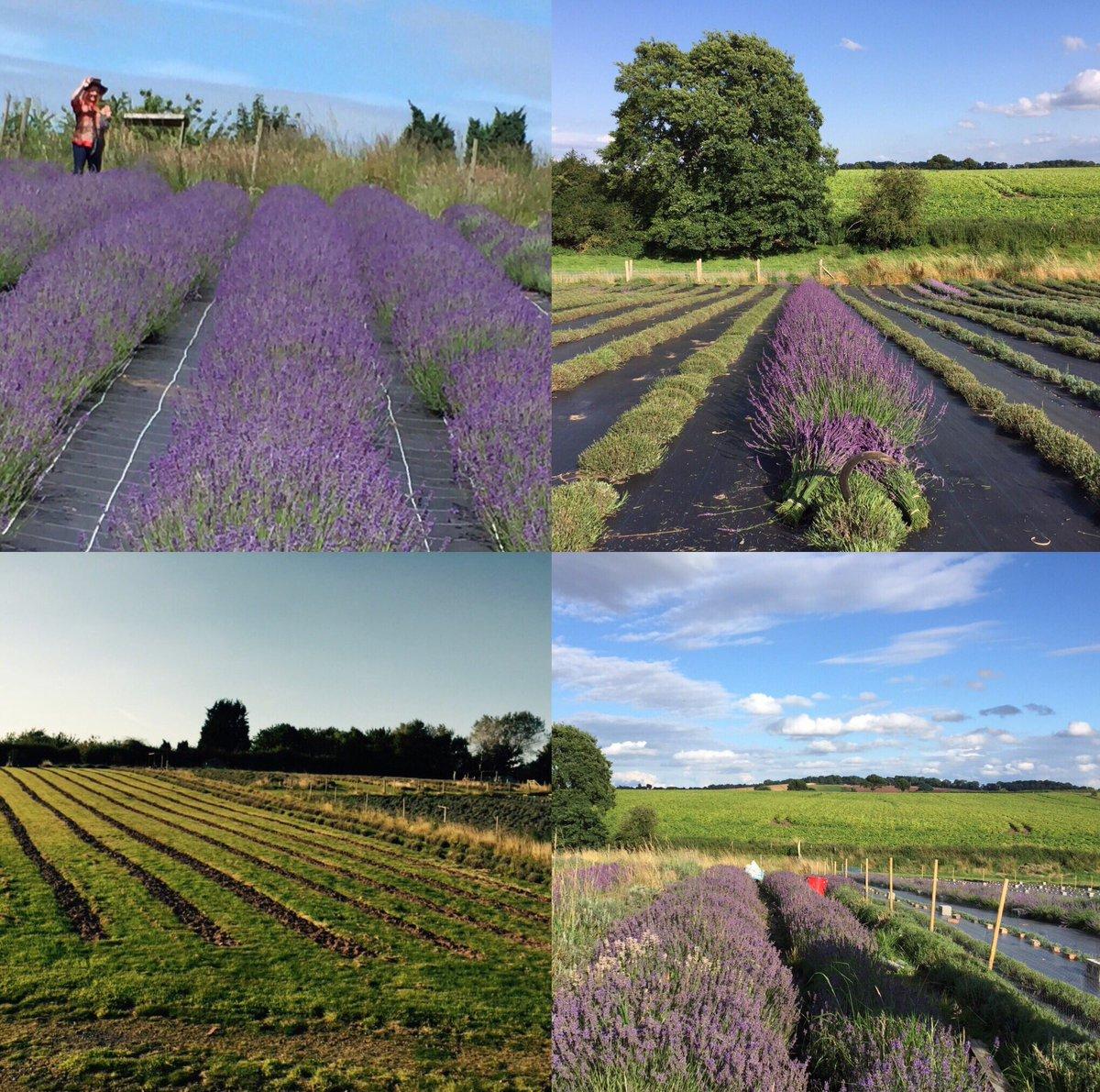English Lavender on Twitter: