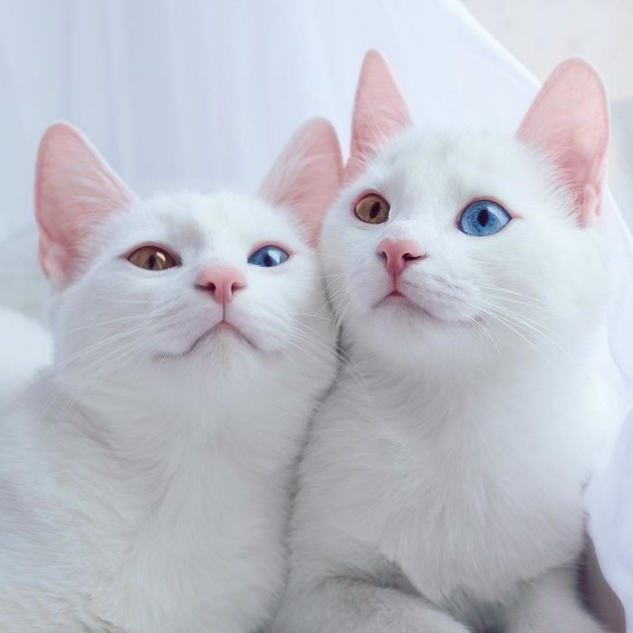 The Most Beautiful Twin Cats In The World CLICK to see more of these d...
