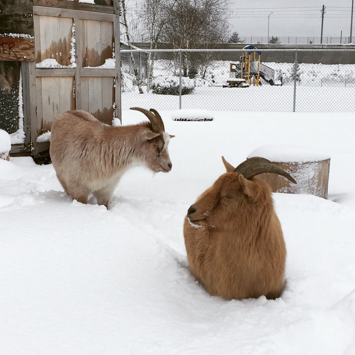 Alternative snow depth measurement: one Bambi leg high. #belmontgoats #goats #pdxtst #pdxsnow @NWSPortland<br>http://pic.twitter.com/tf1FXihNIG &ndash; à The Belmont Goats