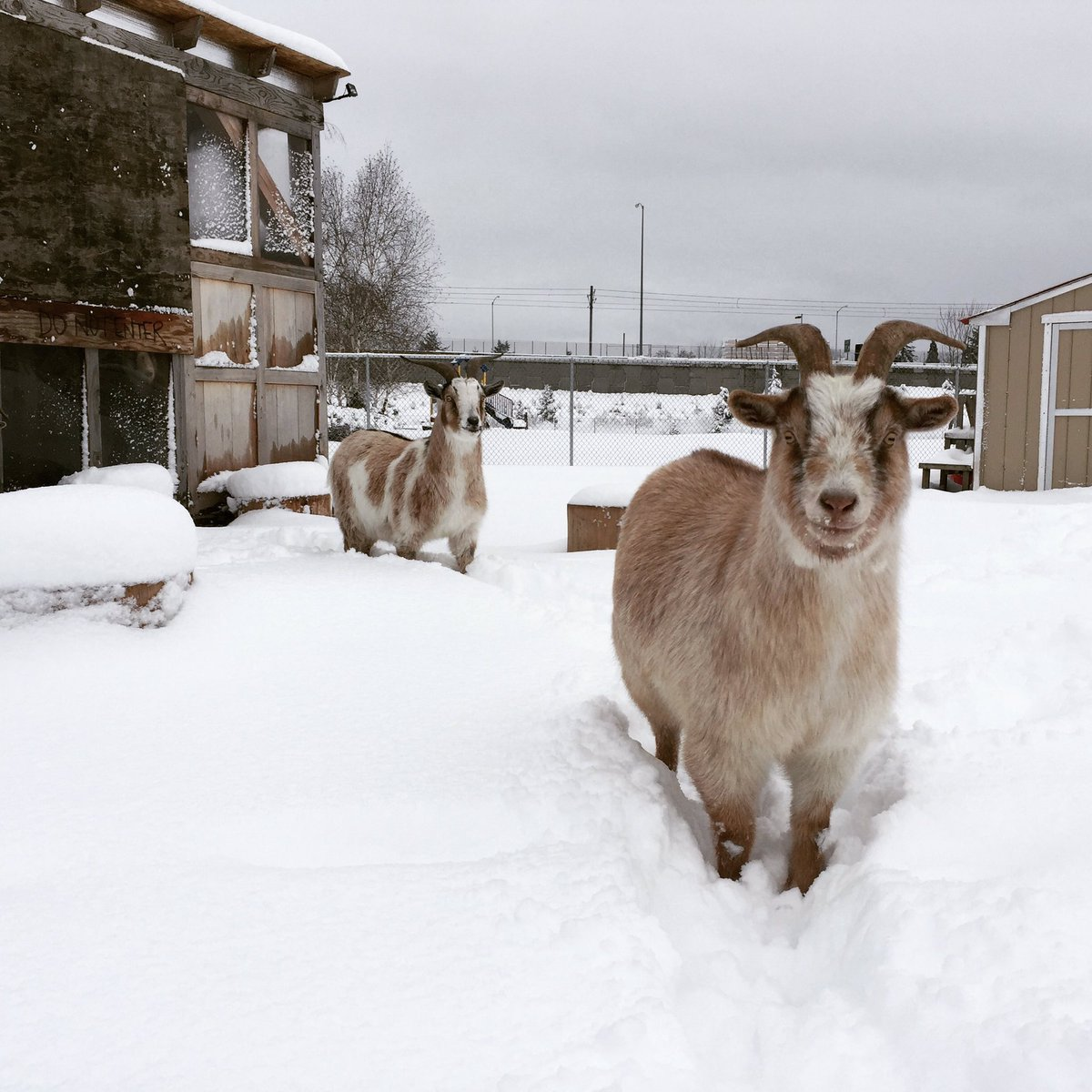Venturing out in search of breakfast. #belmontgoats #goats #pdxtst #pdxsnow<br>http://pic.twitter.com/zUkYXELkOf &ndash; à The Belmont Goats