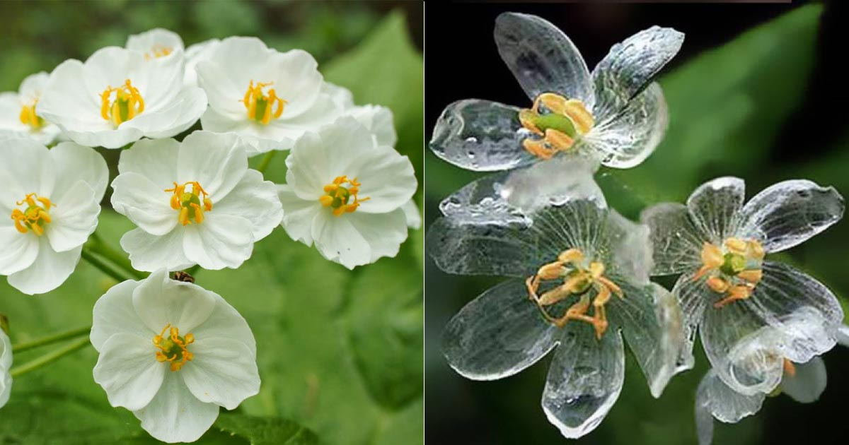 Jim haseloff on twitter diphylleia grayi skeleton flowers turn 233 pm 11 jan 2017 from cambridge england mightylinksfo