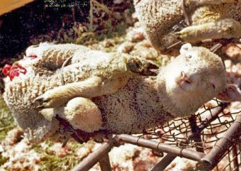 Mulesing NO anesthesia-large strips of flesh cut off backs of lambs &a...