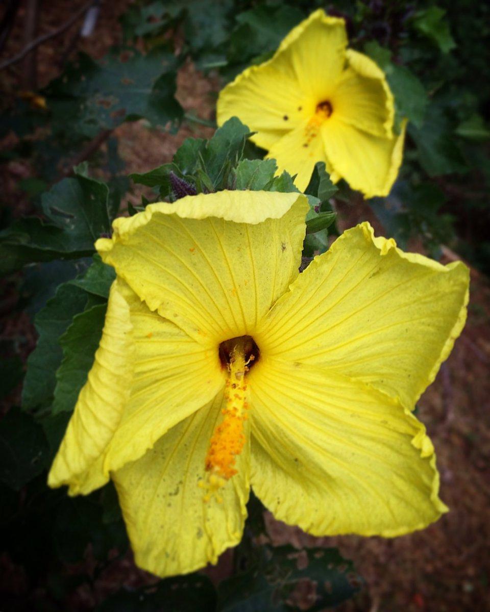 Save Plants On Twitter Hibiscus Kokio Subsp Saintjohnianus