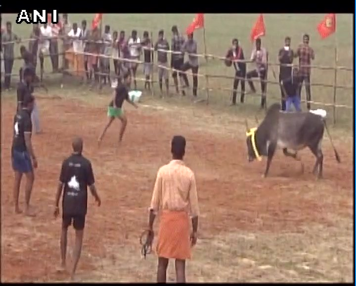 Cuddalore (Tamil Nadu): Naam Tamilar Katchi party workers organise Jallikattu despite SC's ban; later detained by Police