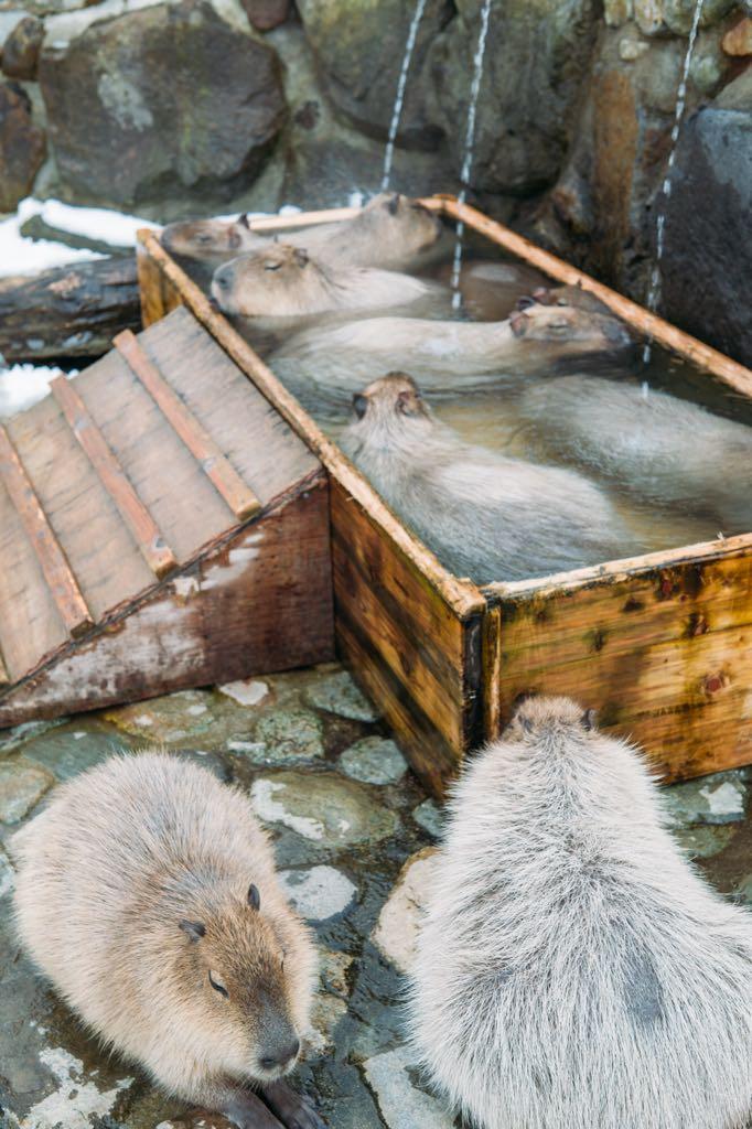 寒すぎてカピバラは温泉の順番待ちが起きていた。 https://t.co/Avi6mXSSUU