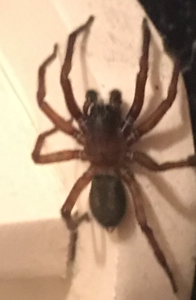 @umesibaume 明けましておめでとうございます。新年早々申し訳ないんですけど、トイレに結構デカイ蜘蛛が出たんですけど、何の種類かご存知でしょうか。よろしくお願いします。