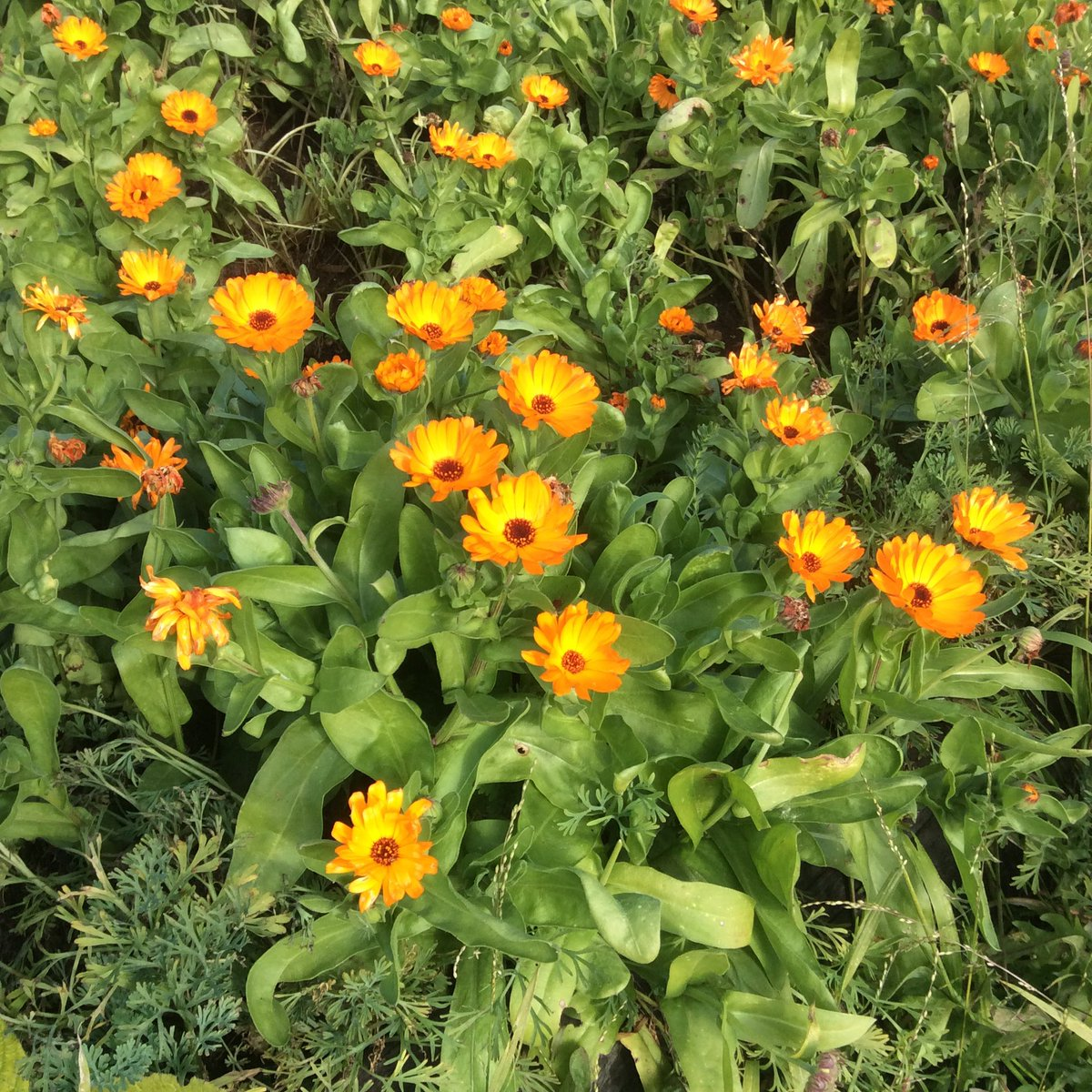 @alyssaharad #FlowerReport Mendocino sits on the ocean's moderating effects, so we have calendula to offer. https://t.co/VNhQo0gtY6