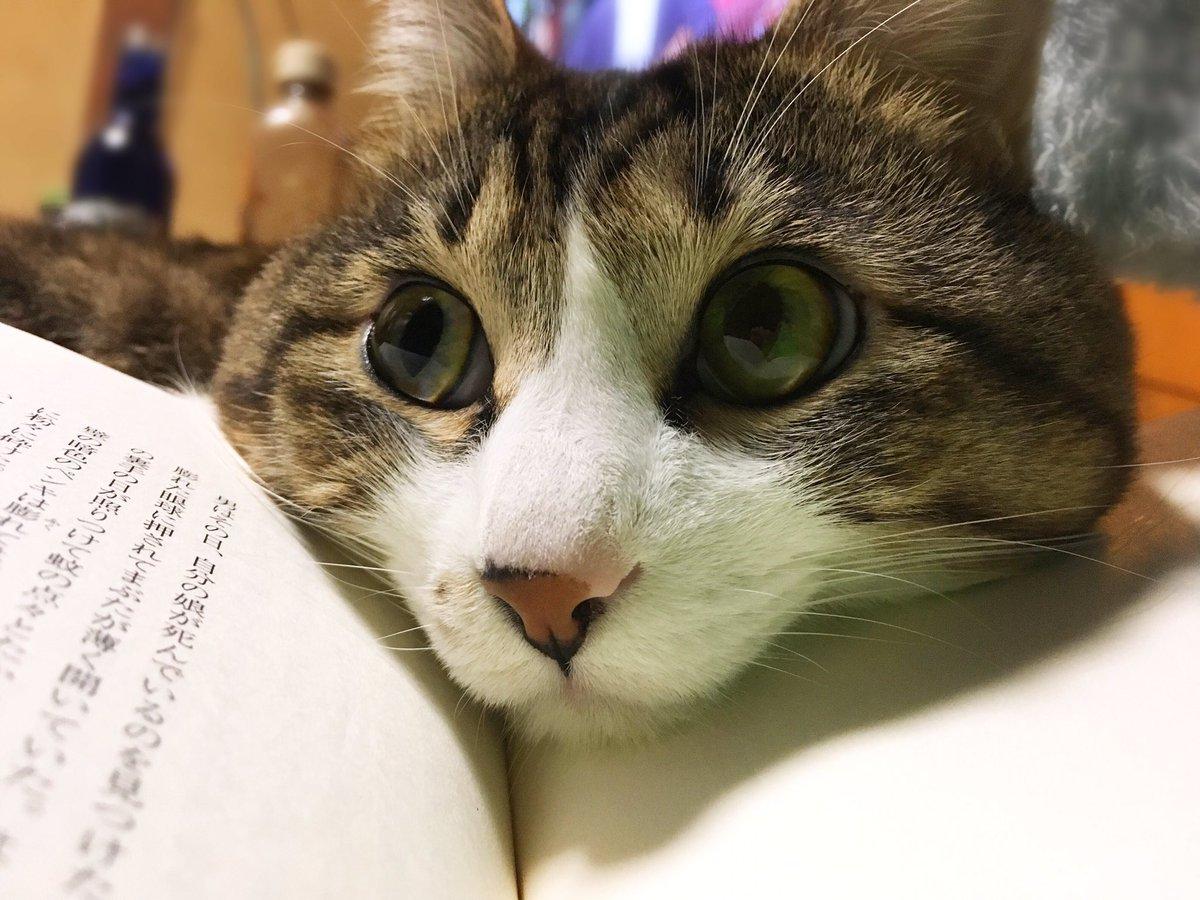 猫よ。完璧にフィットする最高の顎乗せ台を見つけてしまった猫よ。私はお話の続きが気になっているのでそろそろめくってもいいですか猫よ。 pic.twitter.com/h92YOrI7np